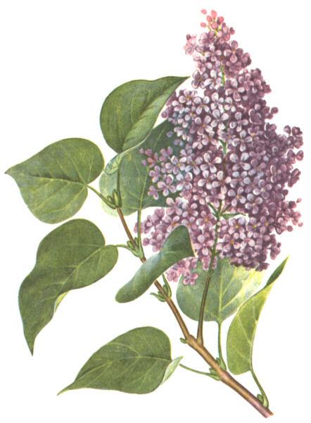 В народной медецине отвар цветков, главным образом белой сирени, пьют...